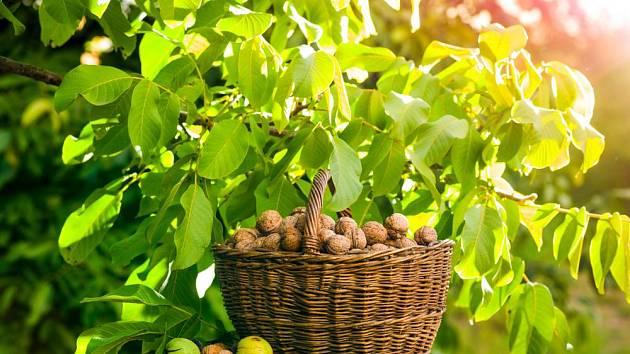 Vlašské ořechy se vyplatí pěstovat