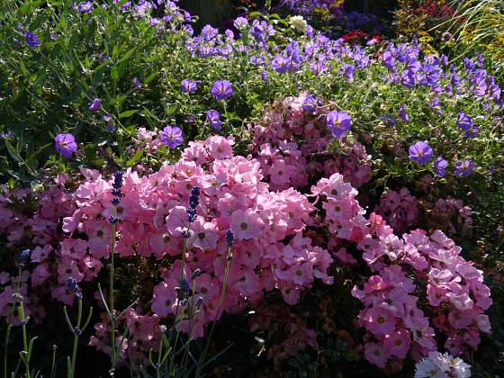 Jednoduché květy růže Fortuna odolávají rozmarům počasí a není třeba je odstřihávat – růže se po odkvětu sama čistí. Kvete celou sezonu až do zámrazu