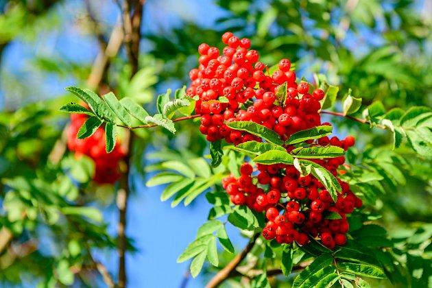 Sušením nebo vařením uděláte z jeřabin pro člověka konzumovatelné plody.