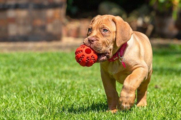 Bordeauxská doga, štěně.