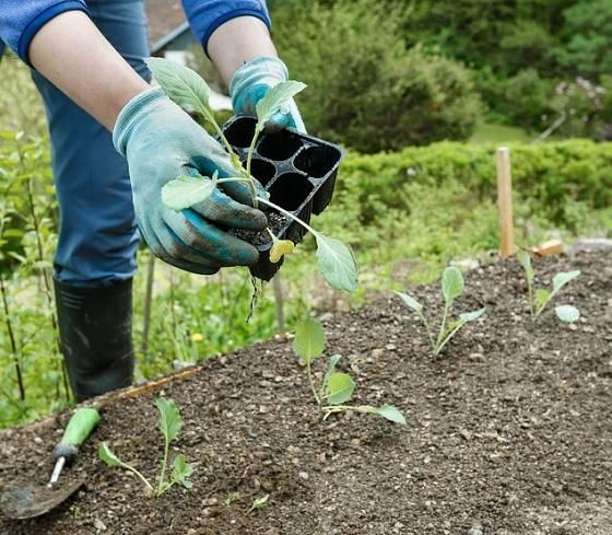 Výsadba sazenic brokolice