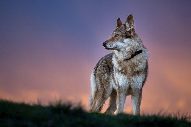 Mezi nejdražšími plemeny můžeme najít i toto původně domácí plemeno - československého vlčáka.