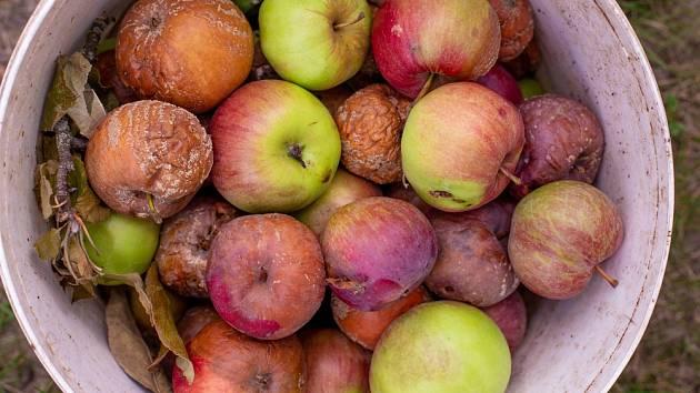 Shnilá jablka nikdy nenecháváme ležet pod stromy.