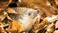 Záchrana mláděte ježka před zimou je dobrým skutkem