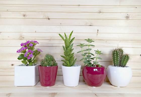 Kalanchoe patří mezi sukulentní rostliny.