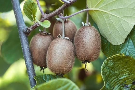 Není nad to utrhnout si čerstvé ovoce z vlastního stromku.