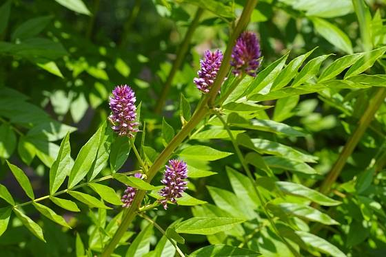 Lékořici můžeme pěstovat i na zahradě.