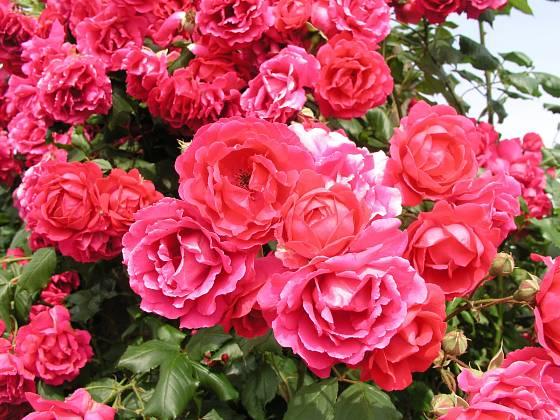 Paul´s Scarlet Climber (Paul, Velká Británie, 1915). Velmi často pěstovaná růže má květ červený s tmavě růžovým nádechem velký asi 7 cm; výška růže 4 m. Jednou kvetoucí