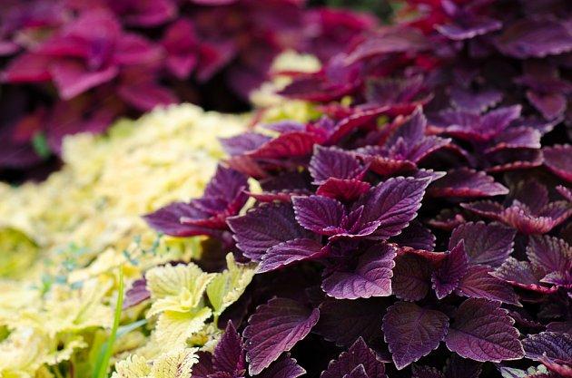 variety perilly se světle zelenými a vínovými listy