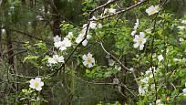 Růže šípková i další plané růže v přírodě využívají oporu větších stromů