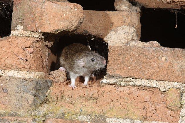 potkan se protáhne i malou škvírou