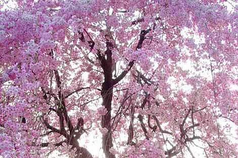 rozkvetlá sakura