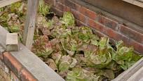 Hlávkový salát vypěstujete v pařeništi velmi časně