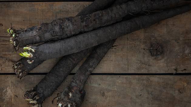 Černý kořen neboli hadí mord