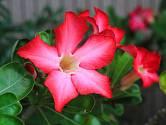 Mandevila je teplomilná rostlina, kterou je nutné přezimovat uvnitř.