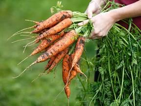 Když kořeny mrkví uchováme do příštího roku, můžeme sklidit semena