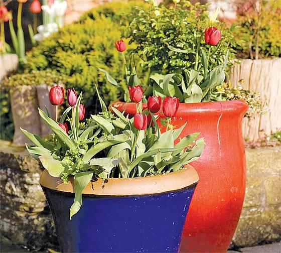 I obyčejné variety dokonale vyniknou. Zásluhu na tom mají velké květináče v sytých barvách.