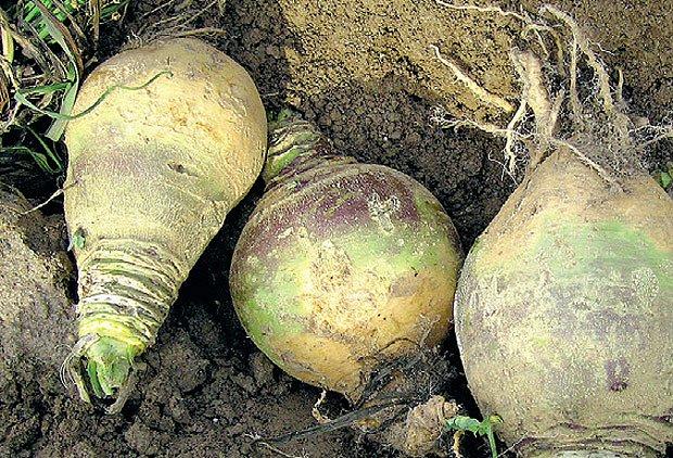 Staré krajové odrůdy - tuřín