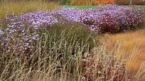 Hvězdnice rozkladitá (Aster divaricatus) v kombinaci s okrasnými trávami