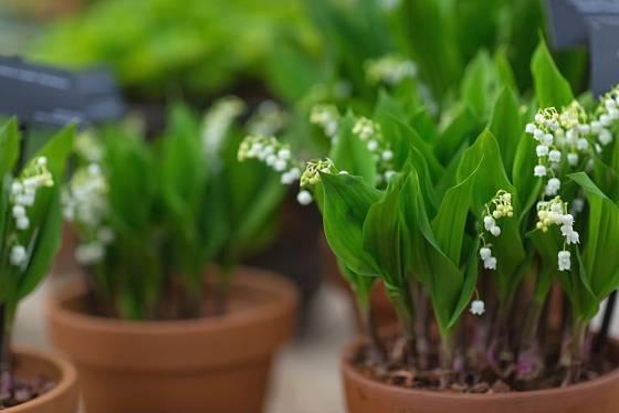 Konvalinky jsou oblíbené květiny k rychlení