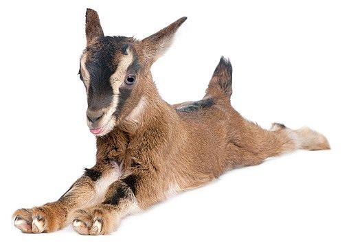 koza v paneláku