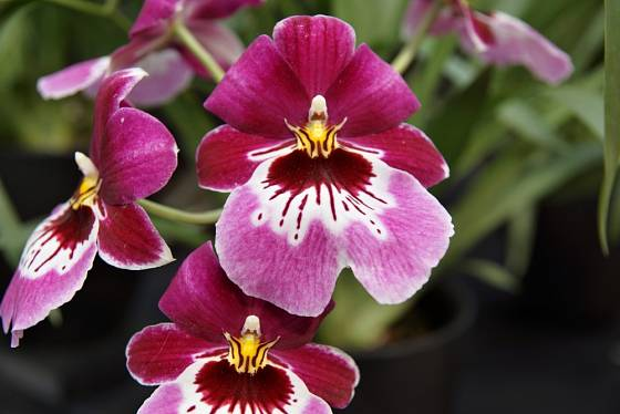 Květy orchidejí z rodu Miltonia připomínají macešky.