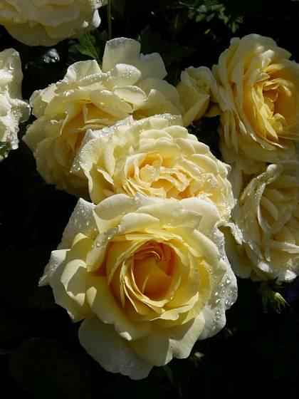 Růže odrůdy Gartenpass