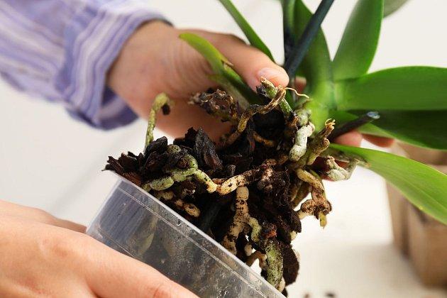 Jednou za 2 - 3 roky je potřeba orchidej přesadit.