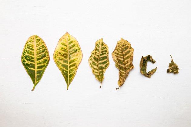 Když nemá kroton dostatek vláhy, listy schnou a opadávají.