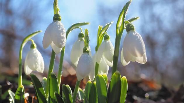 Všech devatenáct druhů sněženek (Galanthus), vypadá velmi podobně