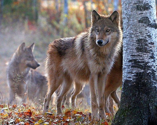 Vlčí smečku tvoří nejčastěji pár dospělých vlků a jejich odrostlí potomci.