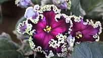 Africké fialky patří k mimořádně oblíbeným i mezi sběrateli.