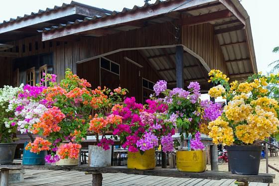 Pestrá nabídka barev oblíbené bugenvilei (Bougainvillea)