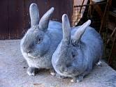 moravský modrý králík