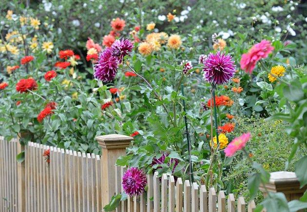 Jiřinky zdobí zahradu až do mrazů