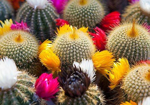 Kaktusy si získávají srdce mnoha pěstitelů