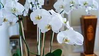 můrovec (Phalaenopsis), oblíbená pokojová orchidej