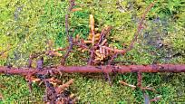 Zduřelé mykorhizní kořínky na smrku jsou společným orgánem rostliny a houby