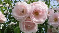 New Dawn (Dreer, USA, 1930). Velmi často stále pěstovaná růže má světle růžový květ asi 8 cm velký; výška růže 4 m. Opakovaně kvetoucí