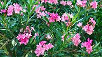 Oleandr obecný (Nerium oleander)