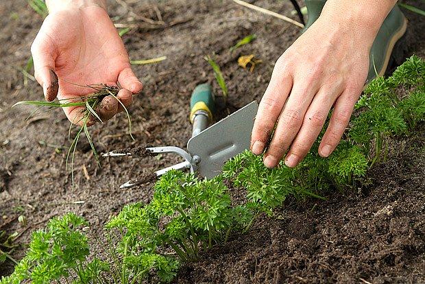 Rostoucí petrželku je třeba plít a zavlažovat