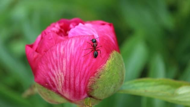 I přes svou užitečnost, na zahradě nejsou mravenci vítáni