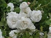 Madame Plantier. Hustě plný bílý květ silně voní