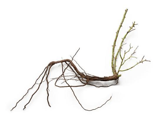 Prostokořená růže - kořeny by měly zůstat vlhké až do sázení.