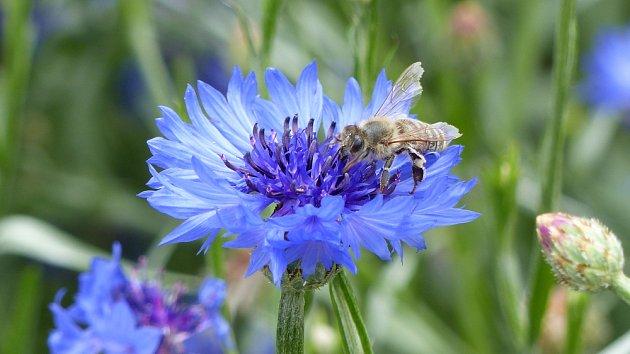 Chrpa modrák čili chrpa polní (Centaurea cyanus)