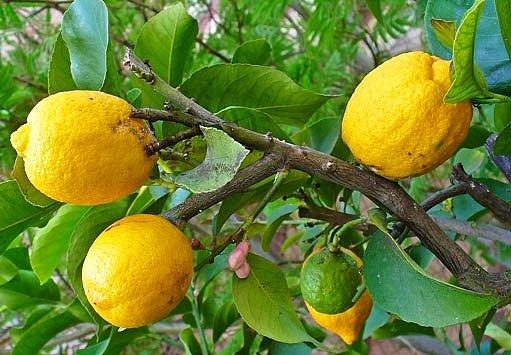 Citrus cedrát