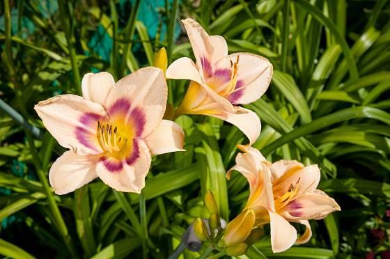 Denivky patří k oblíbeným rostlinám na vytváření sbírek.