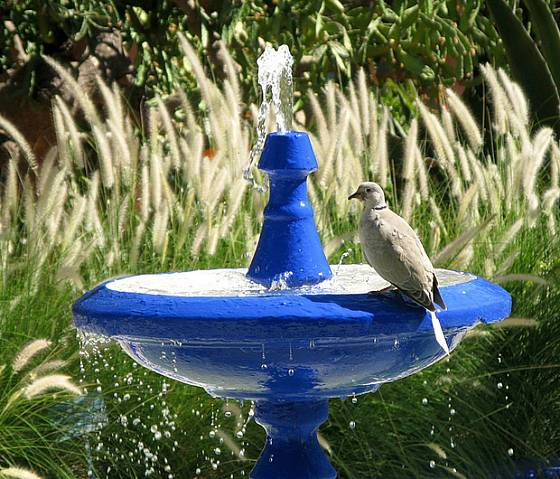 Fontánka v ptačím napajedle, napít se přilétla hrdlička zahradní