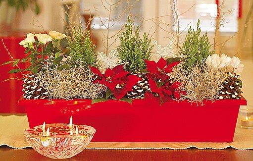 Keříky krásnohlávku vypadají senzačně i v tradiční kompozici s vánočmi hvězdami.
