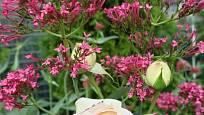 Mavuň červená kvete také bíle a růžově.